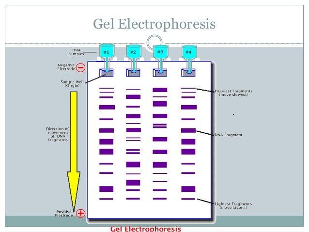 gel electrophersis Principles of polyacrylamide gel electrophoresis (page) powerful  electrophoretic techniques have been developed to separate macromolecules on  the basis.