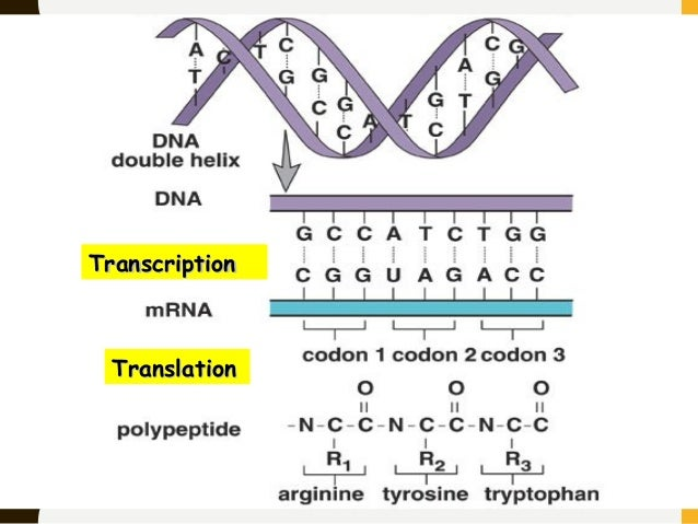Central dogma of dna andres 41 transcriptiontranscription translationtranslation malvernweather Gallery