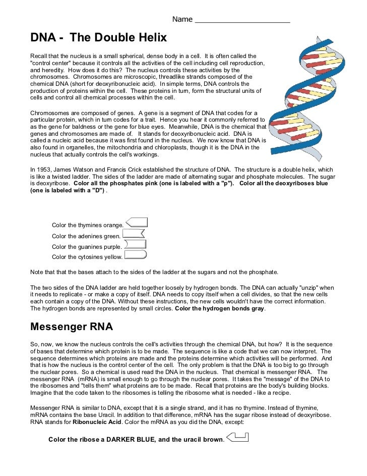 Worksheets Dna The Double Helix Worksheet Answer dna coloring the double helixrecall that nucleus is a small spherical dense body in