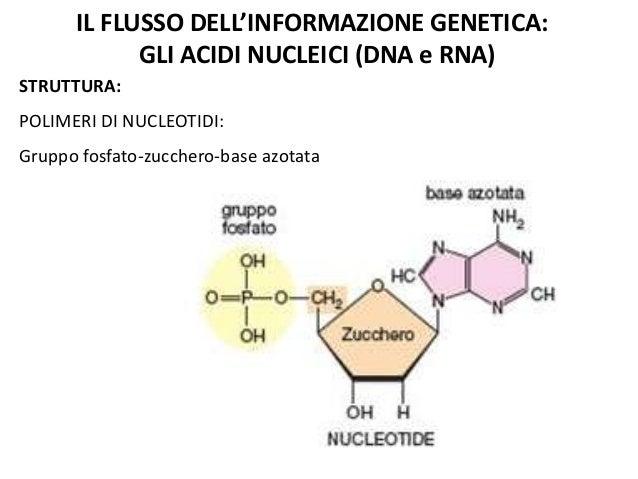 IL FLUSSO DELL'INFORMAZIONE GENETICA: GLI ACIDI NUCLEICI (DNA e RNA) STRUTTURA:  POLIMERI DI NUCLEOTIDI: Gruppo fosfato-zu...
