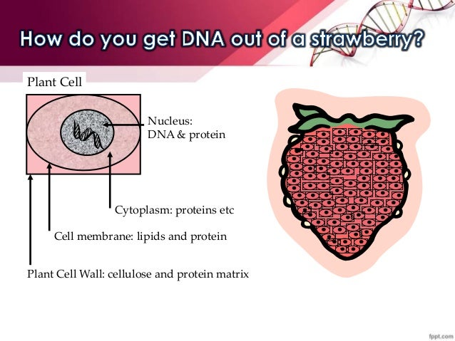 dna extraction strawberries essay Read this essay on strawberry dna extraction come browse our large digital warehouse of free sample essays get the knowledge you need in order to pass your classes.