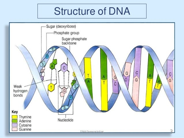 term paper on dna fingerprinting Writing essay fingerprinting technique, writing writing essay fingerprinting technique, writing homework help the definition of dna fingerprinting is.