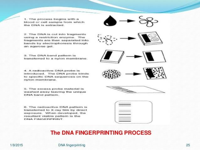 Dna fingerprinting 7 jan 2015 dna fingerprinting 24 25 ccuart Gallery