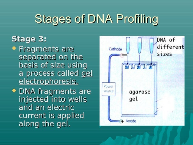 dna profiling The guardian - back to home forensic dna profiling might be about to take a big leap forward probabilities in the context of dna fingerprinting.