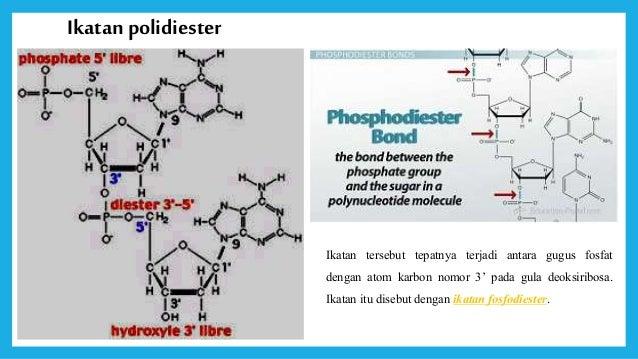 Dna gen dan kromosom dan gugus phosfat 19 monomer molekul dna ccuart Images