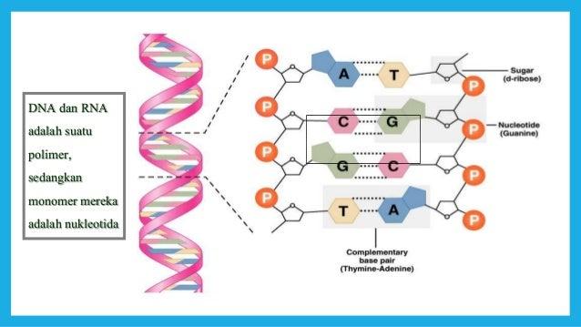 Dna gen dan kromosom monomer molekul dna adalah 4 macam nukleotida yang saling berikatan sesuai basa komplementernya 20 ccuart Images
