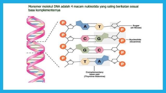 Dna gen dan kromosom molekul po4 22 untai dna ccuart Images