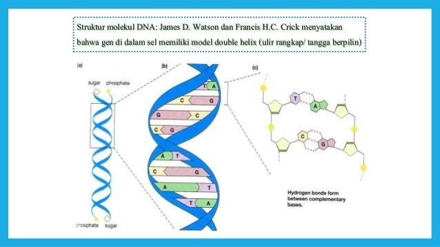 Dna gen dan kromosom 23 26 struktur double heliks molekul dna ccuart Images