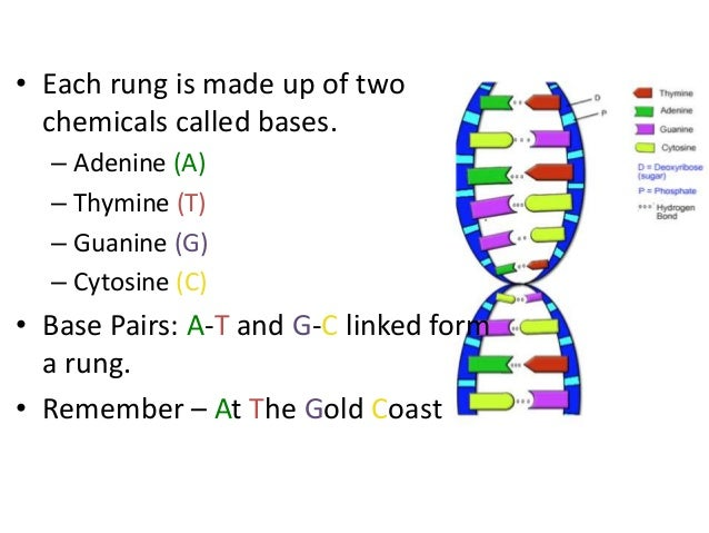 What Are The Four Building Blocks Of Dna
