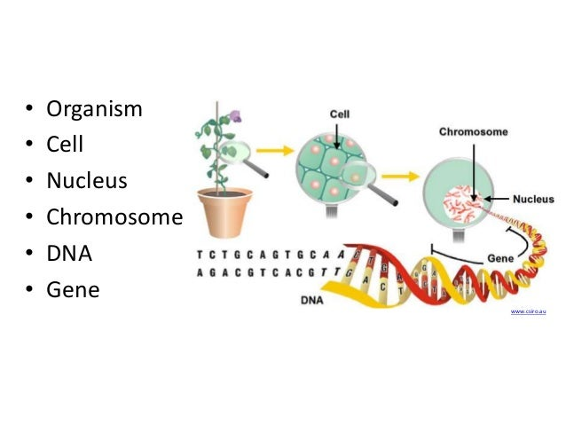 Diagram of cells dna nucleus chromosomes and genes trusted wiring dna genes and the continuity of life rh slideshare net dna chromosome showing dna chromosomes genes relationship diagram ccuart Image collections