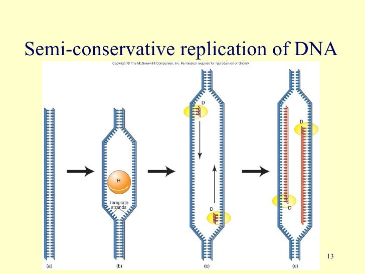 Dna gene therapy 13 semi conservative replication of dna malvernweather Images