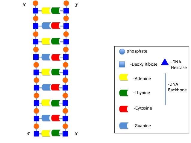 5'  3'  phosphate -Deoxy Ribose  -DNA Helicase  -Adenine -Thynine -Cytosine  -Guanine 3'  5'  -DNA Backbone