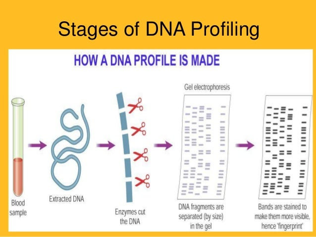 stages of dna profiling 3 stages of dna profiling stage