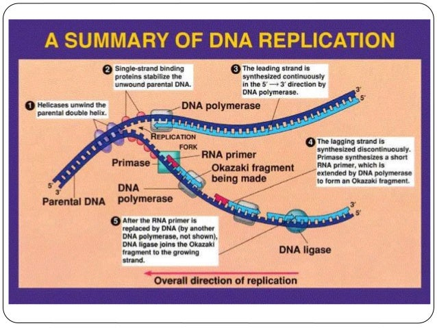 Dna replication 12 ccuart Images