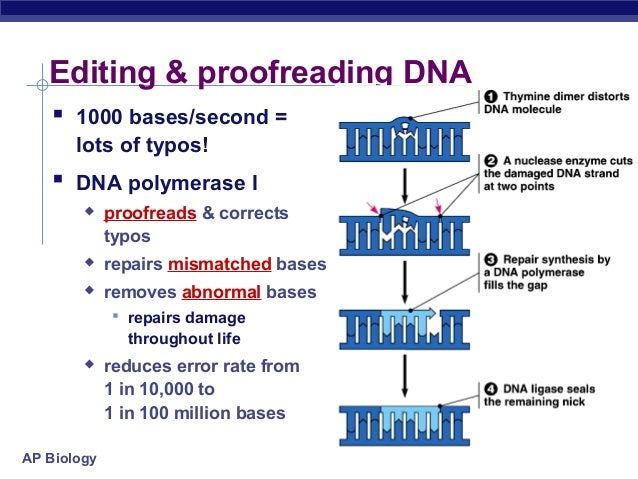 proofreading by dna polymerase