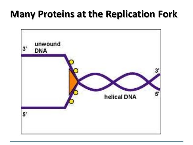 the advantages of dna replication Could someone please answer this question: explain the advantages of dna replicating exactly cells of organism.