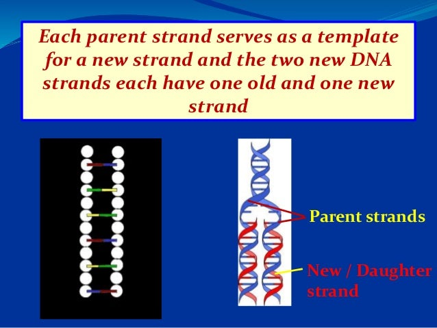 Dna replication semiconservative replication each parent strand serves as a template pronofoot35fo Choice Image