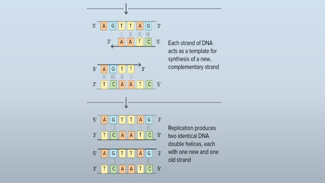 Dna replication 13 pronofoot35fo Images