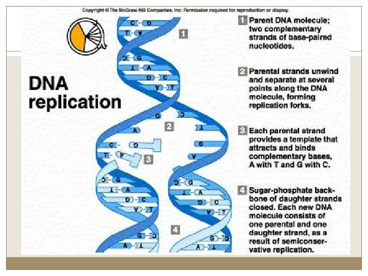 4 process of dna replication