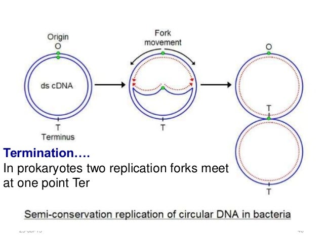 two replication forks meet the fockers
