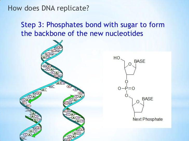 Dna replication slide