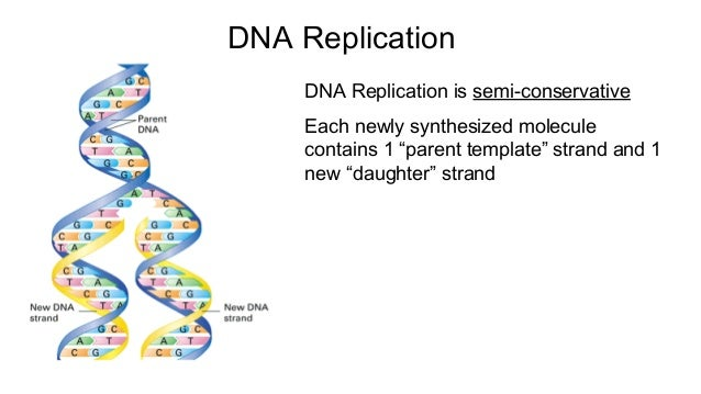 Dna replication transcription and translation – Dna Replication Activity Worksheet