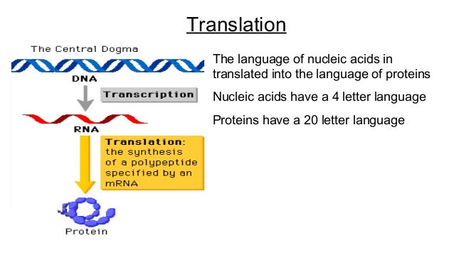 Protein synthesis simple