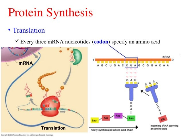Dna replication;transcription and translation