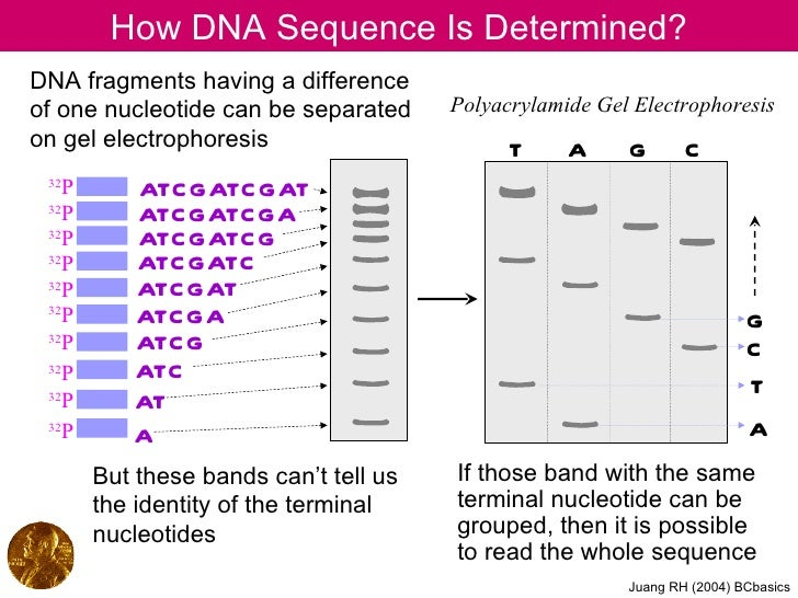 How DNA Sequence Is Determined?DNA fragments having a differenceof one nucleotide can be separated      Polyacrylamide Gel...