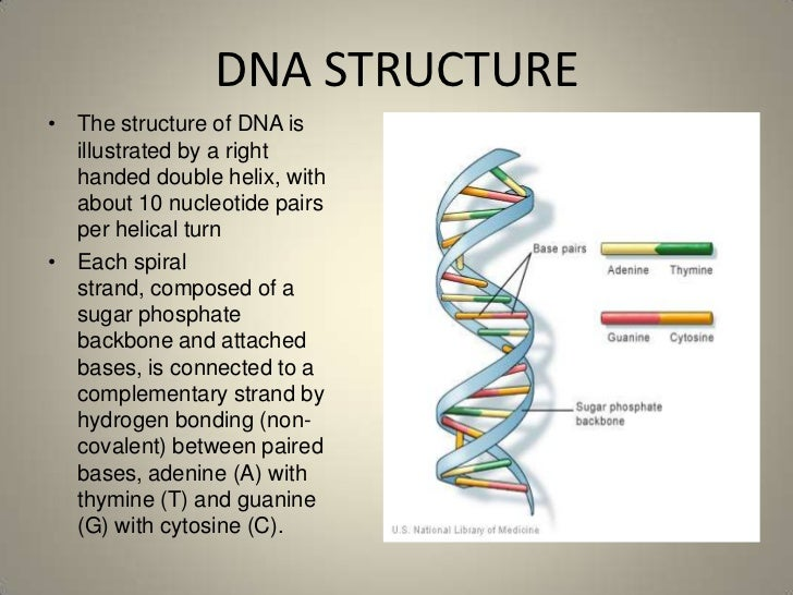 the structure and function of dna Dna is perhaps the most famous molecule on earth here we explain what it is, what it does, its double helix structure, and why it is so important to life.