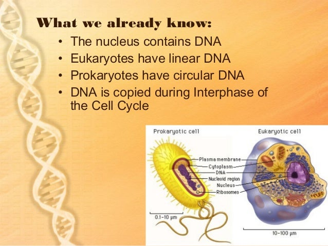 What we already know:  •   The nucleus contains DNA  •   Eukaryotes have linear DNA  •   Prokaryotes have circular DNA  • ...
