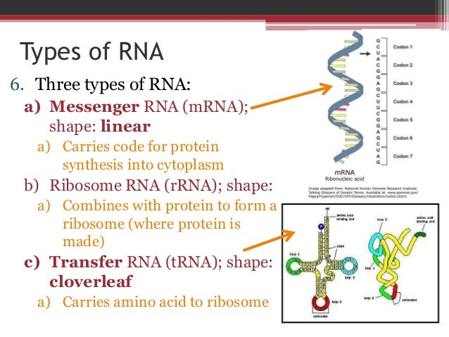 Dna to rna to amino acids