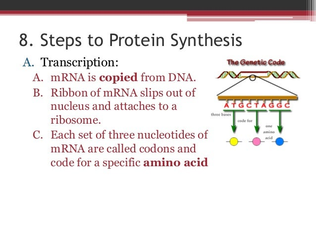 5 steps of protein synthesis Rna polymerase creates complementary code in 5' - 3  the major steps of protein synthesis are:  the first step in protein synthesis is the transcriptionof.