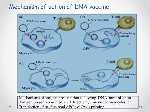 bacterial vector delivery of plasmid mediated dna vaccine Dna vaccines are modified bacterial plasmids that com- bine a bacterial region  that  vector is transfected into target tissue cells during delivery to the recipient   mediated activation of the cytoplasmic double stranded dna sensing  stimulator.