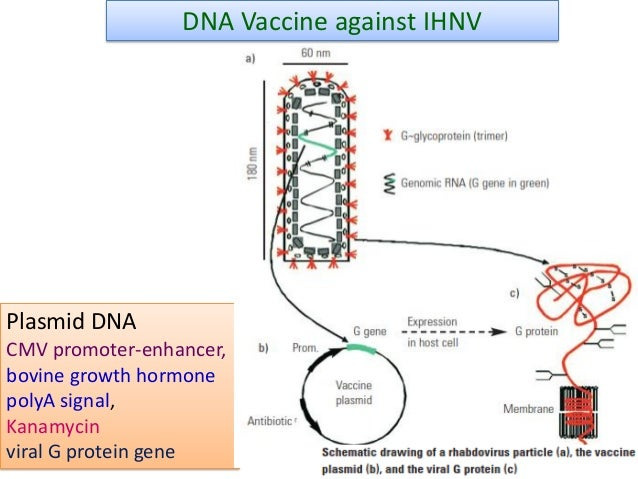 Dna vaccines for fish diseases ppt 2016 for Kanamycin for fish