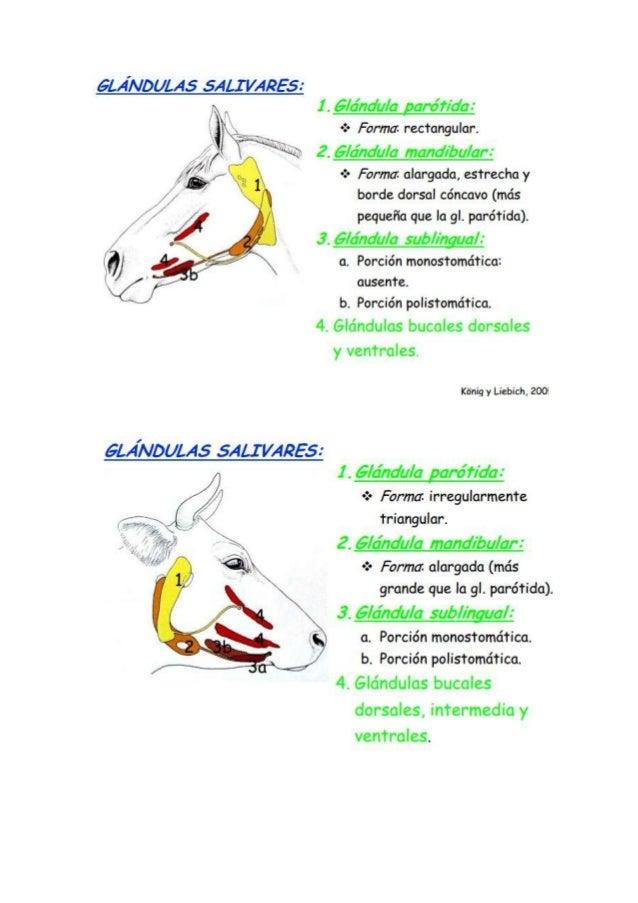 Glándulas salivales, Equino, Bovino, Canino, Porcino