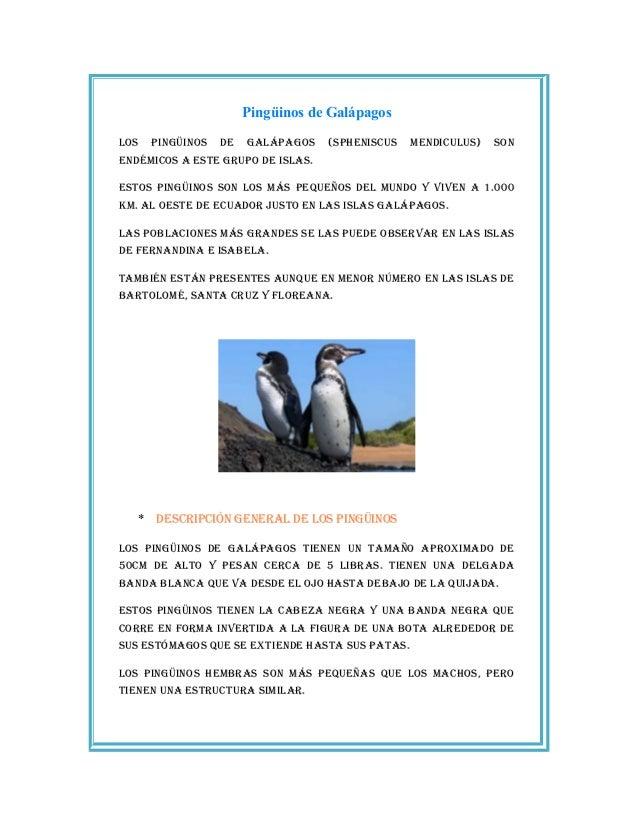 Pingüinos de Galápagos Los pingüinos de gaLápagos (spheniscus mendicuLus) son endémicos a este grupo de isLas. estos pingü...