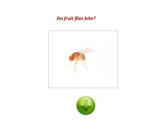 fruit flies in house do fruit flies bite
