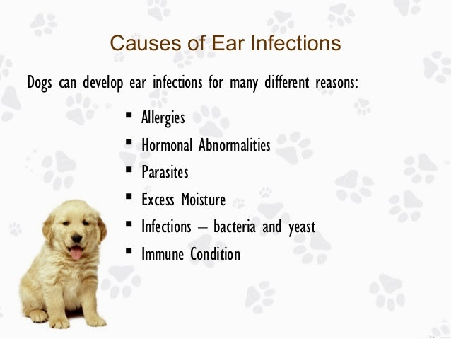 Causes Of Ear Infections In Dogs Yeast