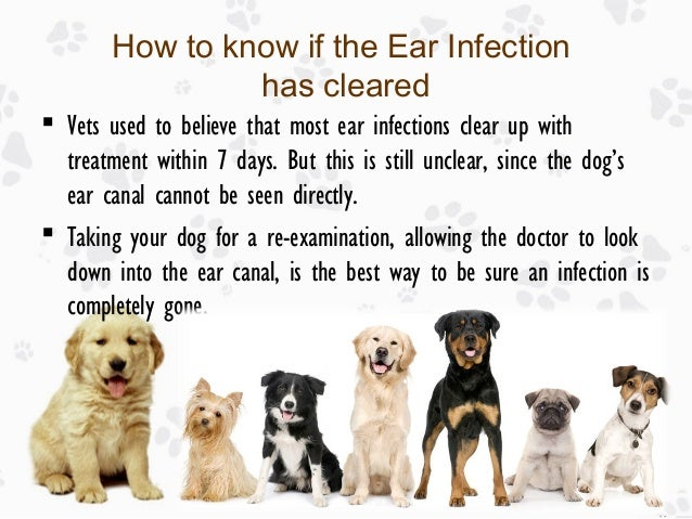 ear infection in dogs causes treatments and prevention