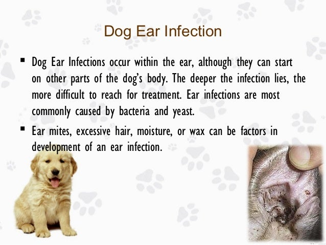 How To Treat An Ear Infection In A Dog Naturally