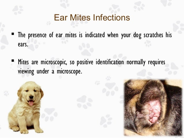 Ear Infection in Dogs: Causes, Treatments and Prevention Ear Mites Vs. Yeast Infection In Dogs