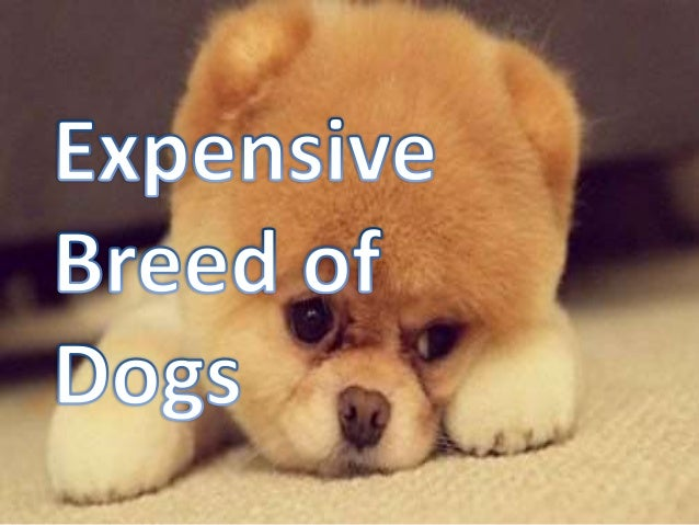 Expensive Breed of Dogs