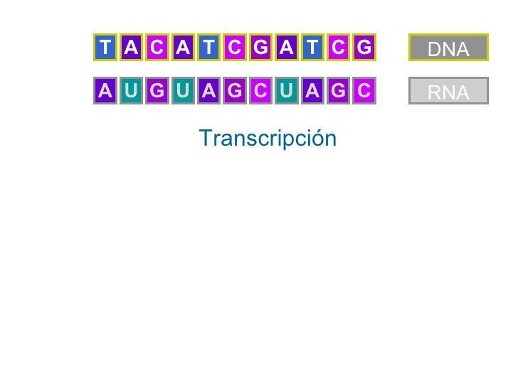 T A C A T C G A T C G   DNAA U G U A G C U A G C   RNA       Transcripción