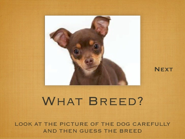 Next          What Breed? LOOK AT THE PICTURE OF THE DOG CAREFULLY        AND THEN GUESS THE BREED