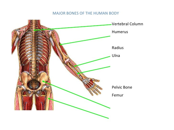Human Anatomy And Physiology 2 Final Exam Study Guide - User Guide ...