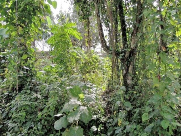 Republica Dominicana - kakaová plantáž (Bavaro Runners) Slide 2