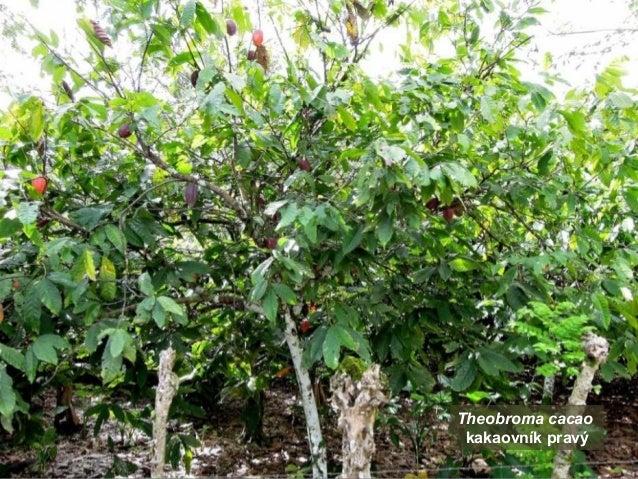 Republica Dominicana - kakaová plantáž (Bavaro Runners) Slide 3