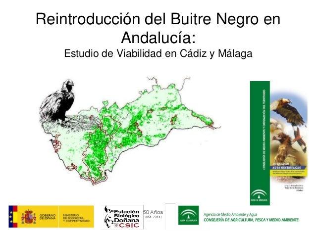 Reintroducción del Buitre Negro en Andalucía: Estudio de Viabilidad en Cádiz y Málaga
