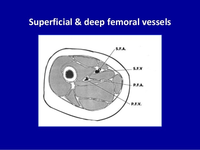 Superficial & deep femoral vessels